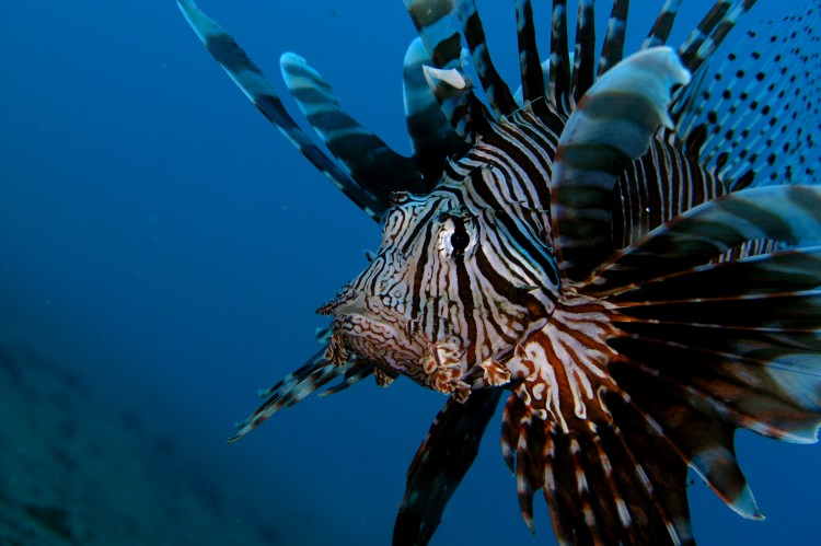 Photo_DannyOcampo_Lion-fish